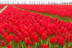 тюльпаны красного цвета Голландии Стоковые Изображения