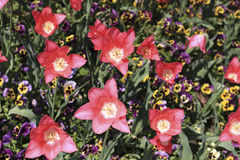 Тюльпаны красного цвета открытые среди покрашенных pansies Стоковое фото RF