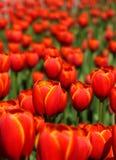 тюльпаны красного цвета сада цветения Стоковое фото RF