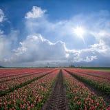 тюльпаны красной весны ландшафта Стоковые Изображения RF