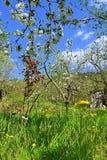 тюльпаны красной весны сада цветков вишни близкие поднимают белизну стоковое изображение rf