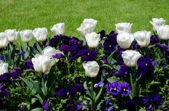 тюльпаны красной весны сада цветков вишни близкие поднимают белизну Стоковые Фотографии RF