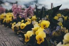 тюльпаны красной весны сада цветков вишни близкие поднимают белизну стоковая фотография