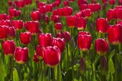 тюльпаны красной весны Стоковое Фото