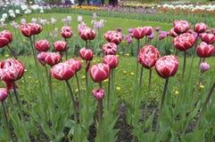 Тюльпаны красные с белизной в саде Стоковые Изображения