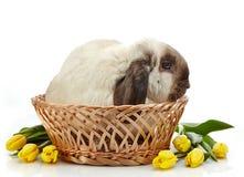 Тюльпаны кролика и желтого цвета Стоковое Изображение RF