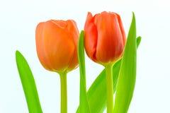 тюльпаны мати s дня Стоковое Фото