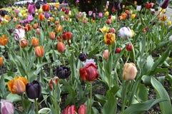 Тюльпаны много цветов в саде Стоковые Изображения RF