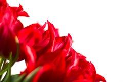 Тюльпаны на белой предпосылке Стоковая Фотография