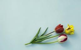 Тюльпаны на голубой предпосылке стоковые изображения