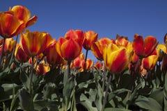 Тюльпаны на голубом небе Стоковое фото RF