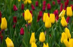 Тюльпаны на луге Стоковое Изображение