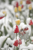 Тюльпаны на flowerbed в парке покрытом с упаденным снегом в Стоковое Изображение