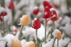 Тюльпаны на flowerbed в парке покрытом с упаденным снегом в Стоковое Изображение RF