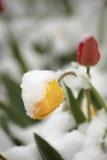 Тюльпаны на flowerbed в парке покрытом с упаденным снегом в Стоковые Изображения RF
