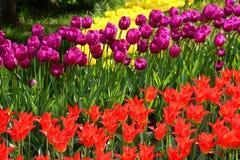 Тюльпаны на flowerbed стоковое изображение