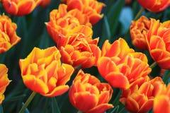 Тюльпаны оранжевого красного цвета в поле стоковая фотография rf