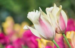 Тюльпаны пастельного цвета весной Стоковая Фотография RF
