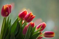Тюльпаны перед окном Стоковые Фотографии RF