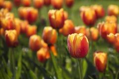 тюльпаны померанца сада Стоковые Изображения RF