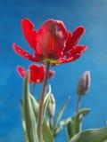 Тюльпаны попугая Стоковое фото RF