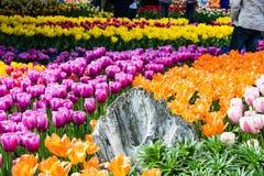 Тюльпаны после этого больше тюльпанов Стоковое Изображение