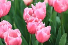 тюльпаны поля розовые стоковые изображения