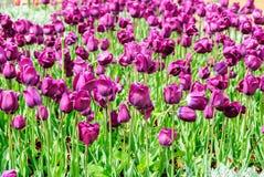 Тюльпаны, предпосылка дня валентинок Стоковое Изображение