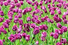 Тюльпаны, предпосылка дня валентинок Стоковое фото RF