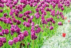 Тюльпаны, предпосылка дня валентинок Стоковые Изображения RF