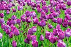 Тюльпаны, предпосылка дня валентинок Стоковое Фото