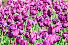 Тюльпаны, предпосылка дня валентинок Стоковые Фото