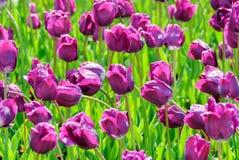 Тюльпаны, предпосылка дня валентинок Стоковые Изображения