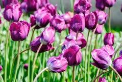 Тюльпаны, предпосылка дня валентинок Стоковые Фотографии RF
