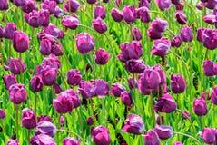 Тюльпаны, предпосылка дня валентинок Стоковая Фотография RF