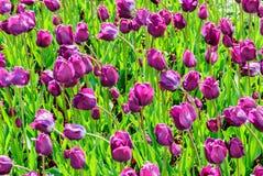 Тюльпаны, предпосылка дня валентинок Стоковая Фотография