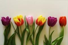 тюльпаны предпосылки белые Стоковое Изображение RF