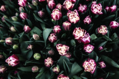 тюльпаны пука стоковое фото