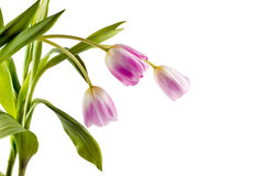 тюльпаны путя клиппирования s букета предпосылки красивейшие там белые Стоковое Фото