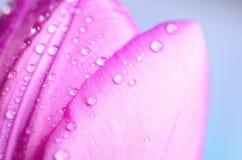 Тюльпаны сирени с падениями воды Стоковая Фотография RF