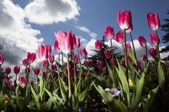 Тюльпаны против голубого неба Стоковое Фото