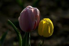 Тюльпаны сравнивают яркую Стоковые Изображения RF