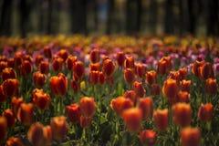 Тюльпаны- увольняют весной Стоковые Изображения RF