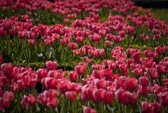 Тюльпаны цветеня Стоковое Фото