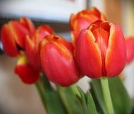 Тюльпаны этой недели Стоковая Фотография RF