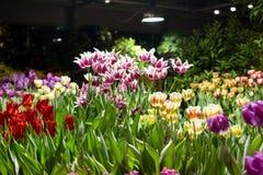 Тюльпаны для продажи на праздники на парнике стоковое изображение rf