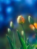 Тюльпаны. Стоковая Фотография