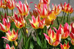Тюльпаны Стоковое Изображение
