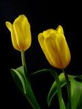 тюльпаны 2 Стоковое Изображение RF