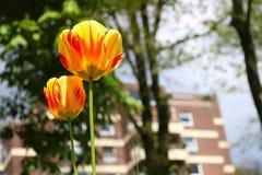 тюльпаны 2 Стоковые Фото